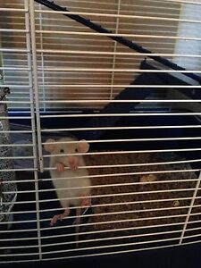 The most adorable rats to a good home