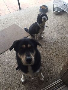 Two dogs Riverwood Canterbury Area Preview