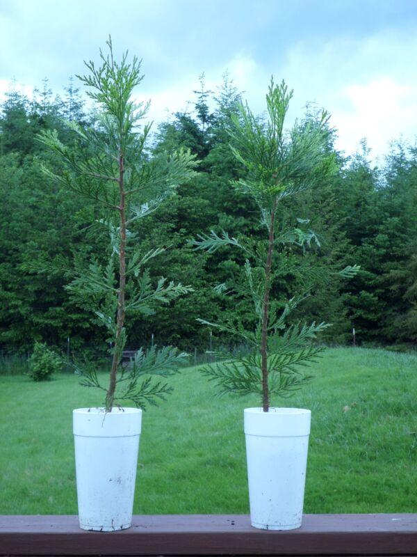 "EVERGREEN (2) INCENSE CEDAR TREES Starter Plug Ornamental Seedlings  20""+"