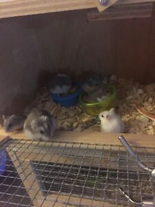 3 week old dwarf and Russian white hamsters