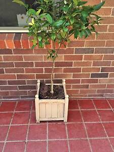 pair of versailles planter boxes with cumquat trees Armidale Armidale City Preview