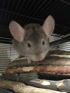 $300 - Chinchilla looking for a new, loving home!