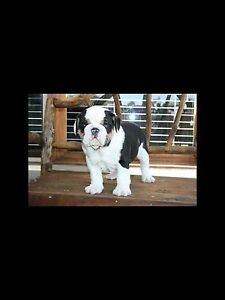 Black Tri British Bulldog Puppy Camden Camden Area Preview