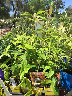 Lemon Myrtle limit stock