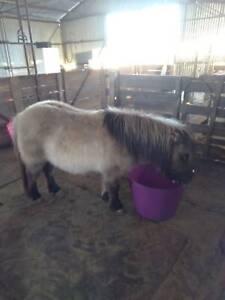 Miniature pony mare
