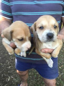 Bull Arab X Wolfhound pups for sale Bellmere Caboolture Area Preview