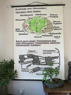 VINTAGE PULL ROLL DOWN SCHOOL WALL CHART THE STRUCTURE OF CHLOROPLAST I SCIENCE