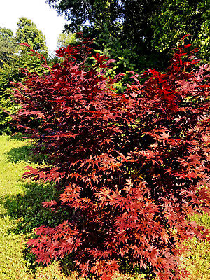 2 - Red Japanese maple seedling trees - Average 2-3 FOOT TALL NOW, free -