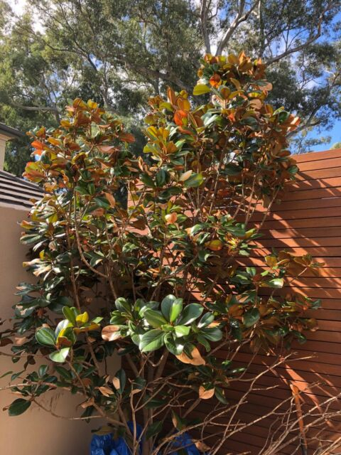 magnolia tree mature Buy