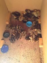 Baby jap quails Lockrose Lockyer Valley Preview