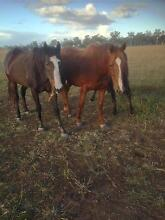 LOVELY EX RACE HORSES FOR SALE! Rosewood Ipswich City Preview