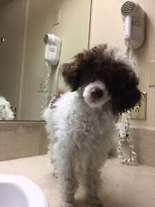 Purebred Toy poodle (closer to teacup size )