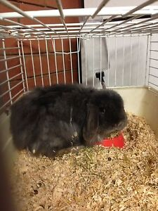 Male cashmere blue mini lop St Andrews Campbelltown Area Preview