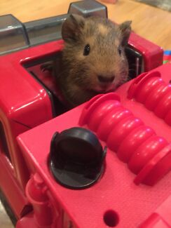 Cute two months old guinea pig brothers looking for new home
