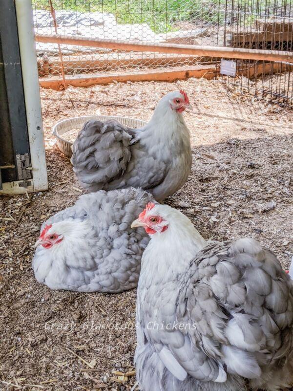 PREORDER - Bobtail Bantam Cochin Hatching Eggs (PREORDER) - 6++ NPIP/AI Clean