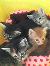 Kittens - adoption to approved homes - November 2015 onwards Medowie Port Stephens Area Preview