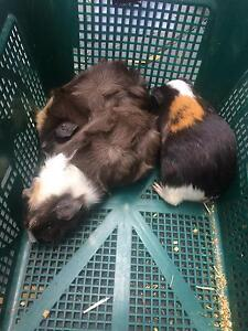 3 month old male Guinea Pigs Sylvania Sutherland Area Preview