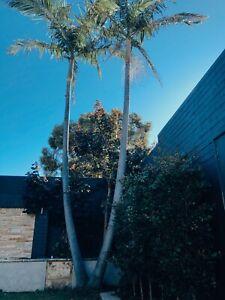 30FT PALM TREE