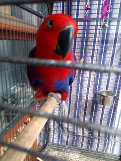 Female eclectus parrot