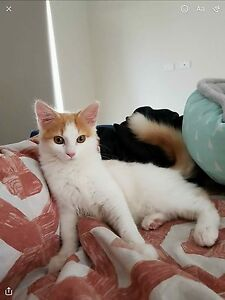 Turkish van X for sale Stockleigh Logan Area Preview