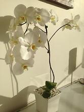 White big orchid with matching pot Brighton Bayside Area Preview
