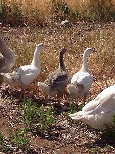 Goose Minlaton Yorke Peninsula Preview