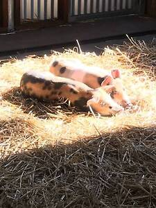 Piglets For Sale Helensburgh Wollongong Area Preview
