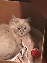 BLUE MINK TABBY PUREBRED RAGDOLL KITTEN Pleasure Point Liverpool Area Preview