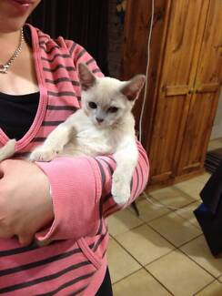 Purebreed Lilac Burmese Female Kitten Lithgow Lithgow Area Preview
