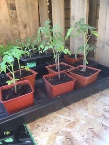 Tomatoes, peppers for sale