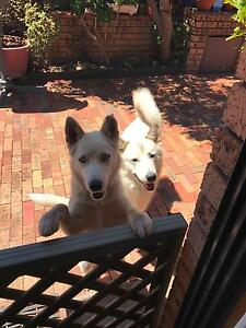 Two Beautiful Huskies to be Re-homed Greystanes Parramatta Area Preview