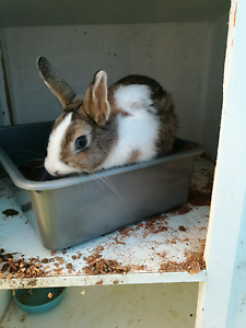Netherland Dwarf cross Jersey Woolie Rabbit Elizabeth Park Playford Area Preview