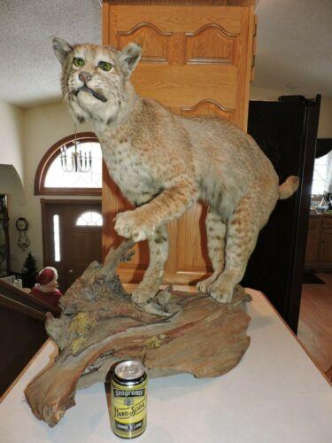 Bobcat Mount Log Cabin Decor Whitetail Deer Fur Pelt Life Size Lynx Taxidermy