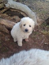 Maremma pups for sale Yetman Inverell Area Preview