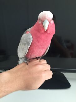 Semi tamed baby galah Chester Hill Bankstown Area Preview