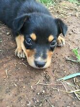 Pure bred kelpie pups Trangie Narromine Area Preview
