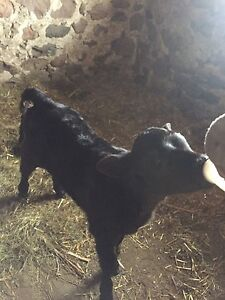 Bottle hfr calf