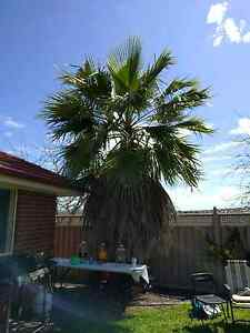 Palm tree, large Greenwith Tea Tree Gully Area Preview