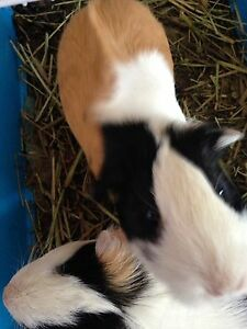 Guinea Pigs Free to a good home