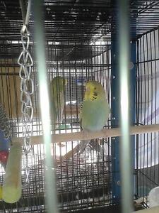 Budgie chicks. 7 weeks old. 3 only available at this price. Morningside Brisbane South East Preview