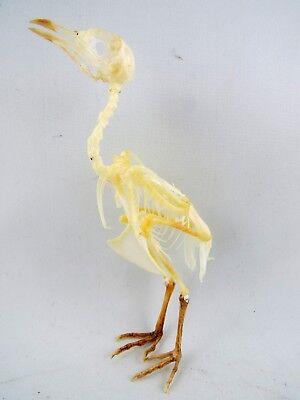 Japanese Quail (Coturnix japonica) Complete Bird SKELETON (Partially Assembled)