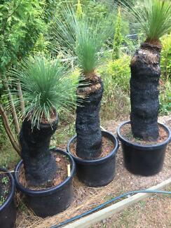 Grass Trees - (Black Boys) Xanthorrhoea 4 Sale In Canberra Region