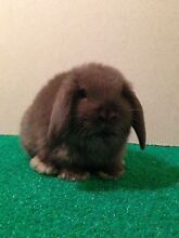 Chocolate boy mini lop Munno Para West Playford Area Preview