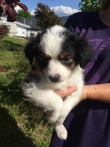 Toy Australian Shepherd Puppies
