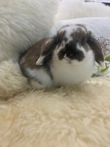 Purebred mini lop with omlet hutch and collapsible run.