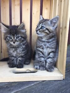6 Week Old Beautiful and Friendly Tabby Kittens