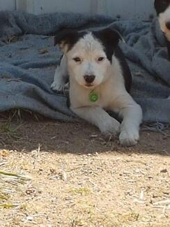 Pure bred short/medium coat border collie puppies available