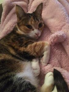 Lovely female cat looking for a new home Capalaba Brisbane South East Preview