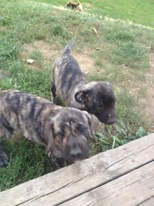 Press Canario Mastiff puppies