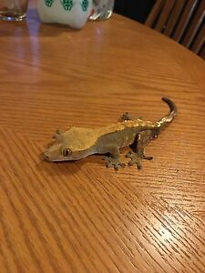 2 Crested Geckos 1 Male 1 Female (With Cage)
